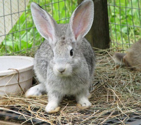 Благодаря корням домашних кролей серые великаны практически не склонны к заболеваниям