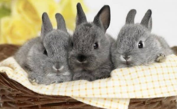В разведении кролики не приносят трудностей, поскольку являются очень плодовитыми