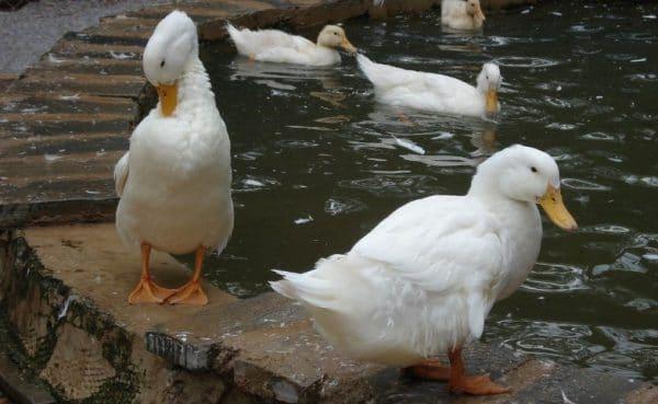 При авитаминозе утки становятся вялыми, перья становятся ломкими, молодняк медленно растет.
