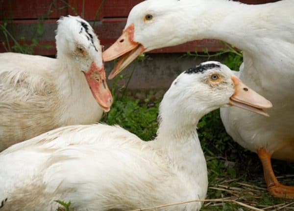 При туберкулезе у уток употреблять мясную продукцию и яйца нельзя, так как это опасно для здоровья