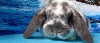 Рацион сукрольных крольчих