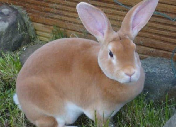 Мех кролика рекс очень ценится