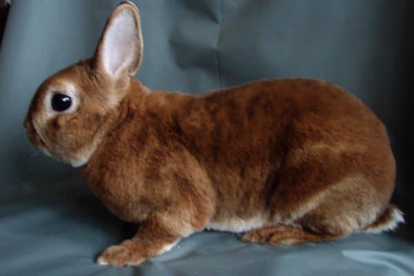 Кролики отличаются крупными размерами, они достигают 5 килограммов