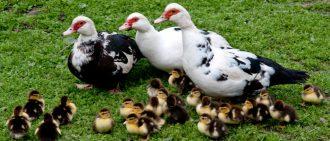Когда утки садятся на яйца