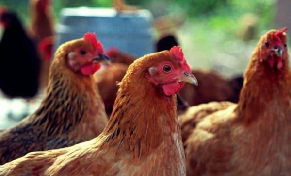 Болезнь Ньюкасла может привести к падежу большого поголовья кур