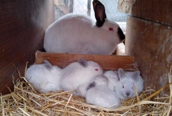Препарат противопоказан кормящим крольчихам