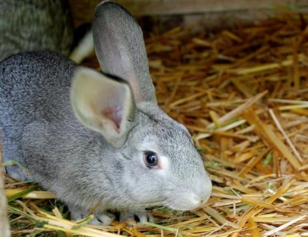 Тимпанол считается одним из самых необходимых средств в аптечке кролиководов