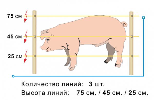 Количество и высота линий электропастуха для свиней