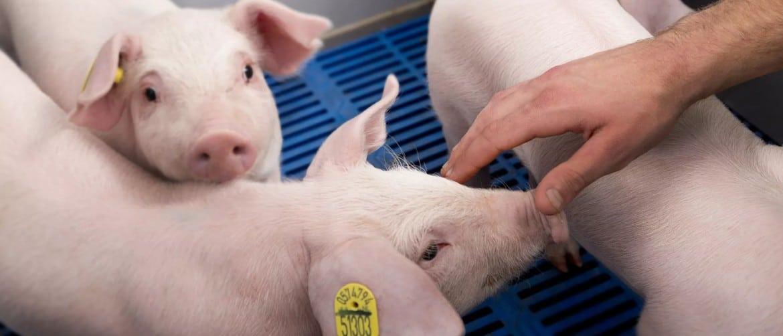 Что лучше давать свиньям для роста