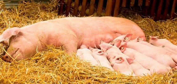 После появления на свет наиболее естественным типом корма для поросят-сосунков является материнское молоко