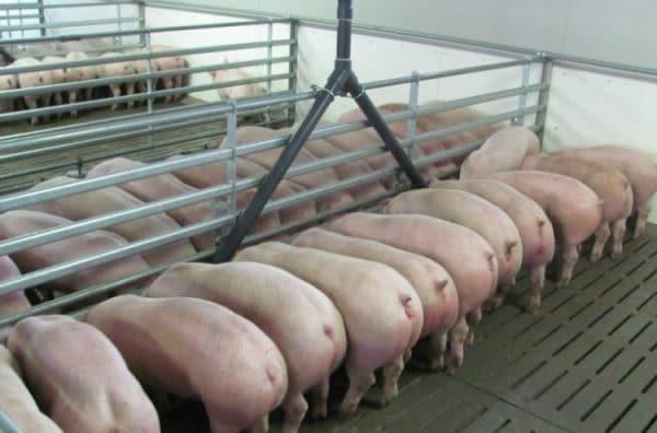 Способы подбора корма зависят от предпочитаемого продукта от взрослой свиньи