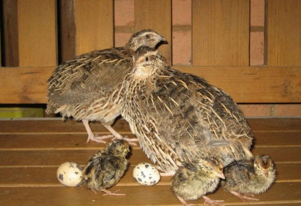 В наше время разведение перепелов в домашних условиях даже для начинающих птицеводов не представляет сложность