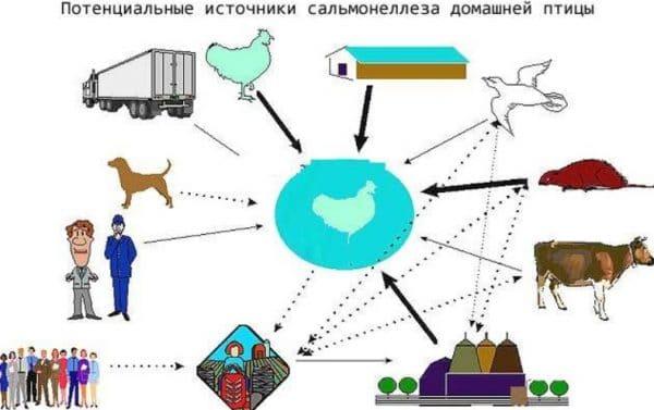 Потенциальные источники сальмонеллеза у домашней птицы