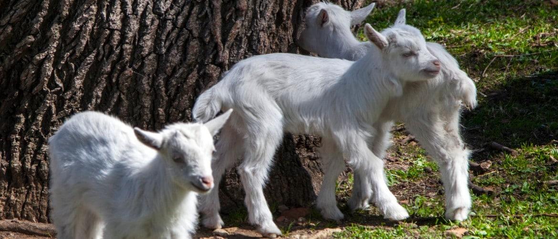 Чем лечить понос у козлят, видео