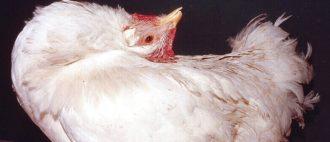 Паразиты на коже курицы