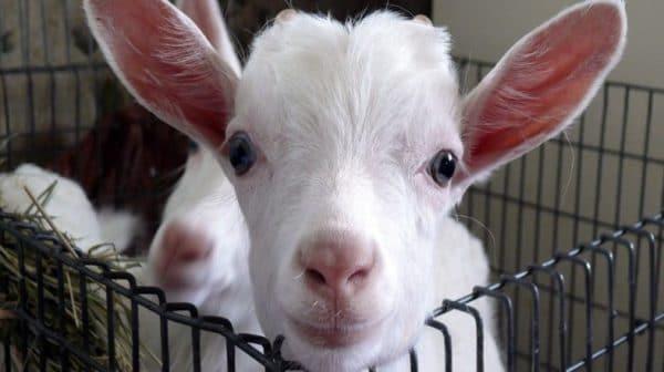 Больных козлят обязательно изолируют