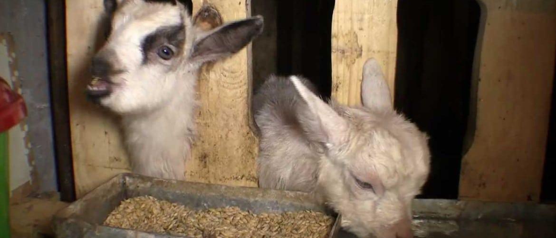 Кормушка для коз: как сделать под сено, мастерим своими руками для разного возраста животных