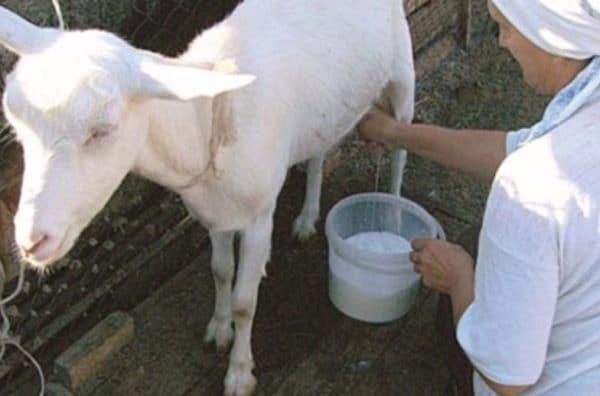 Спустя 1,5–2 часа после рождения козлят рекомендуется осуществить первую дойку