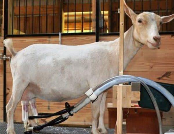 После аппарата козу додаивают вручную, чтобы получить все молоко и избежать развития мастита