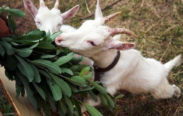 При лечении больного животного обязательно следить за частотой актов дефекации