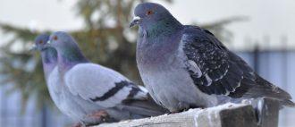 Вертячка у голубей: причины, симптомы и методы лечения || Голубь выворачивает шею