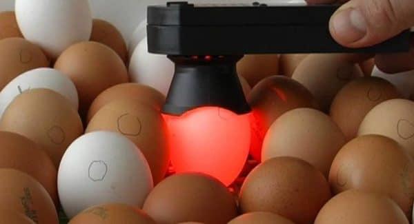 Обнаружить эмбрион при просвечивании белых яиц намного проще