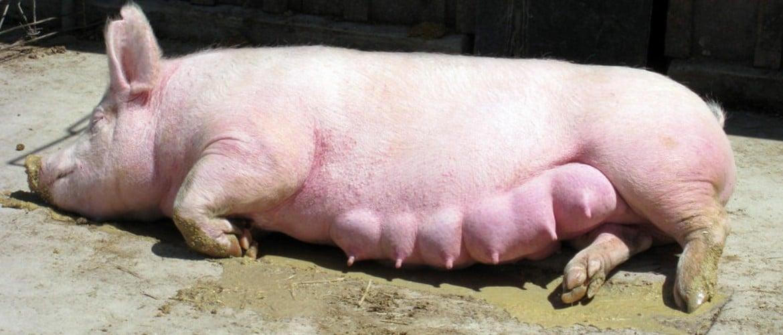 Когда выходит послед у свиньи