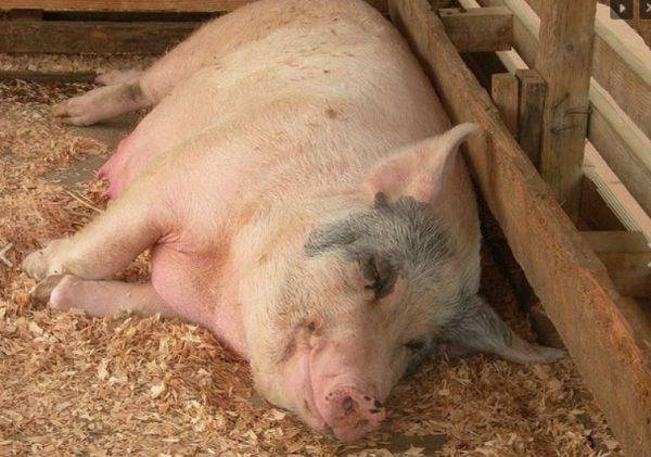 Перед родами свинья часто ложится
