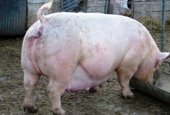 На количество поросят могут влиять возраст свиньи, качество питания, условия содержания, общее состояние здоровья, порода