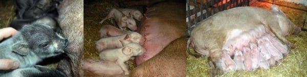 Прикладывание новорожденных животных к соскам