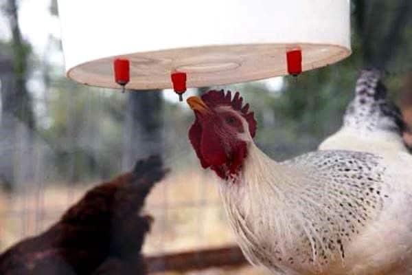 Поилка из ведра для кур