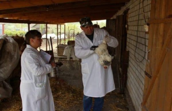 Вакцинация взрослой куры