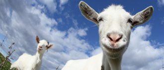 Как построить сарай для козы