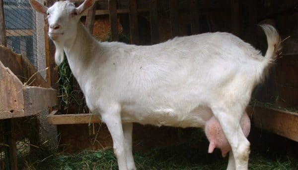 Если коза обладает широкими бедрами и узкой грудью – скорее всего, перед покупателем достаточно продуктивное животное