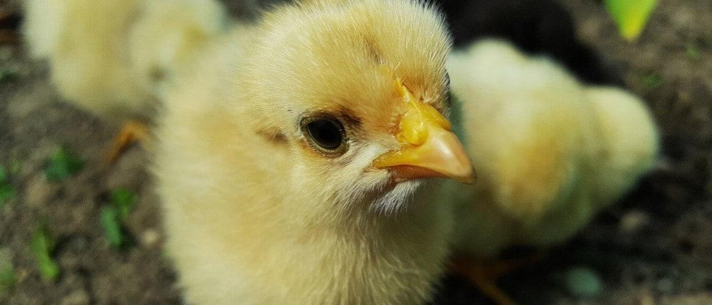 Как посадить курицу на яйца в домашних условиях, видео и фото