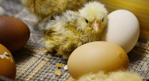 Следует помнить, что наседка после вылупления первых птенцов может бросить оставшиеся яйца. Поэтому за выведением цыплят следует постоянно наблюдать