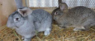 Уход за вислоухими кроликами в домашних условиях