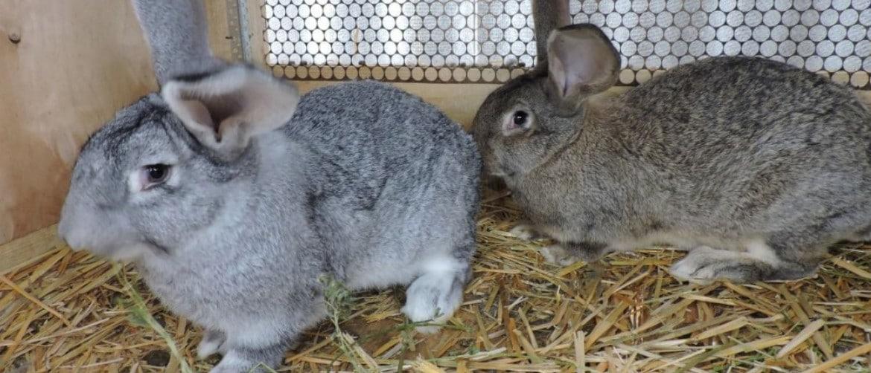 Виды кроликов с названием и фото — 20 лучших пород для разведения