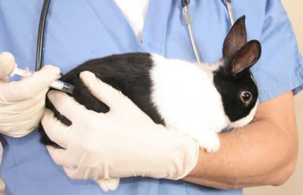 Прививание кроликов