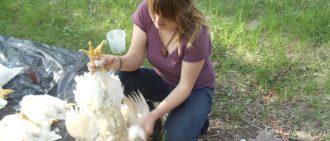 Как петух оплодотворяет курицу: фото, описание, видео