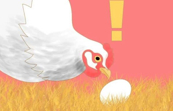 Причины расклева яиц курами