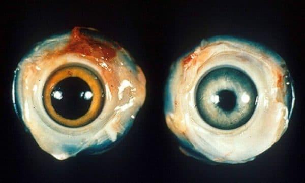 Глаза больной птицы