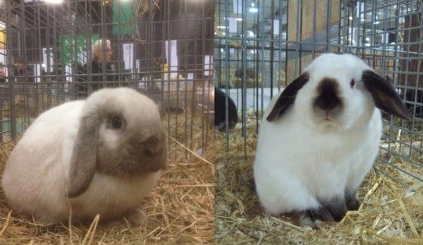Кролик карликовый баран вислоухий