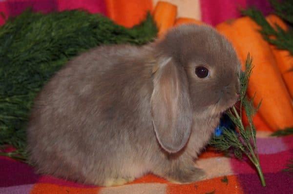 Порода кроликов карликовый баран вислоухий - уход и содержание, чем кормить, сколько стоит