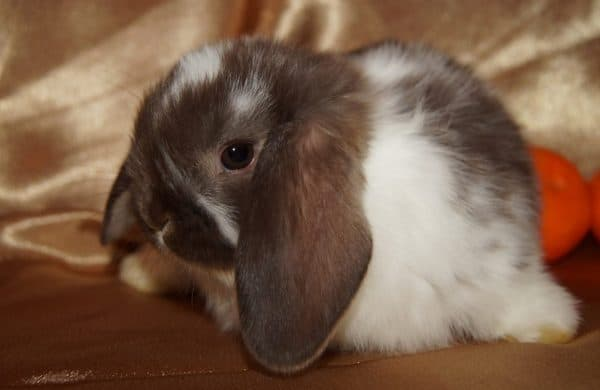 Кролика необходимо обеспечить сбалансированным питанием