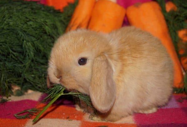 Основной пищей кролика является сено