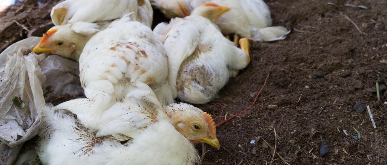 Можно ли есть мясо птицы если птичий грипп thumbnail