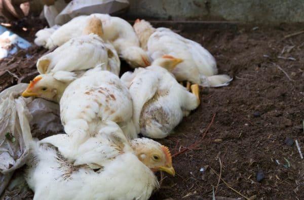 Особо опасен птичий грипп тем, что он постоянно видоизменяется и не дает человеческому иммунитету бороться с ним