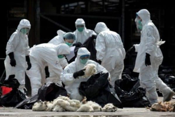 Причина массовой гибели кур — низкий иммунитет