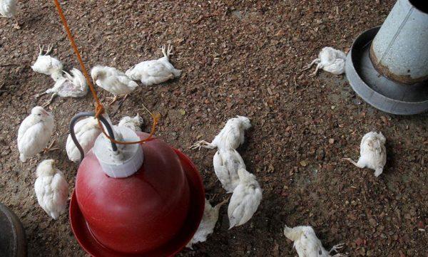 H5N1 — самая опасная разновидность вируса